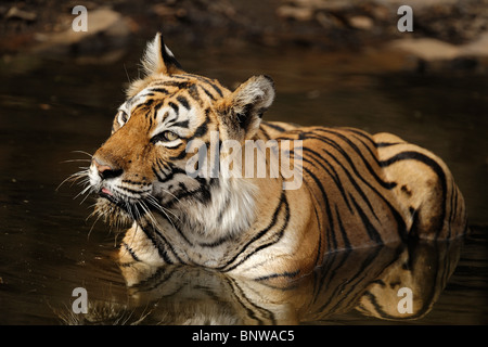 Tigre del Bengala (Panthera tigris) rilassante in un waterhole, Ranthambore, India