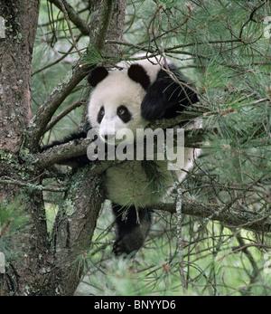 Giovane panda gigante giocando in pino, Wolong, Sichuan in Cina, Settembre Foto Stock