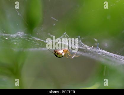 Foglio Weaver Spider o soldi Spider, Linyphia hortensis, Linyphiidae, Araneoidea, Araneae, Arachnida. Whippendell Foto Stock