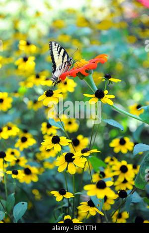 Pasqua Tiger farfalla a coda di rondine su fiori gialli Foto Stock