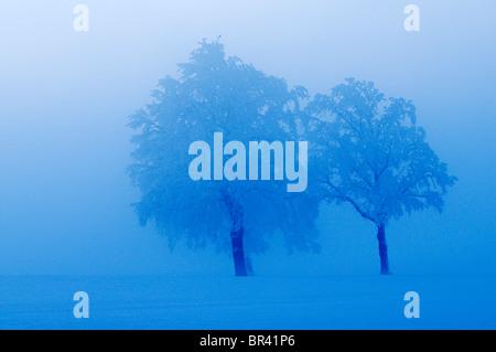 Farnia (Quercus robur), avvolto nella nebbia, Lindeberg, Argovia, Svizzera, Europa Foto Stock