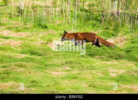 Red Fox (Vulpes vulpes vulpes) sul prowl nella campagna di Warwickshire Foto Stock