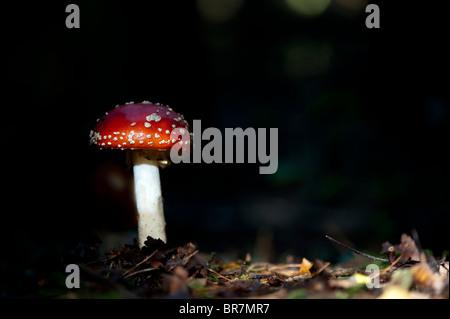 Amanita muscaria, Fly agaric fungo in un bosco inglese. Foto Stock