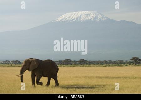ELEPHANT a piedi nella pianura di Amboseli National Park KILIMANJARO IN BACKGROUND KENYA AFRICA Foto Stock