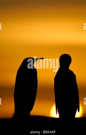Due re pinguini {Aptenodytes patagonicus} stagliano al tramonto, Isole Falkland. Foto Stock
