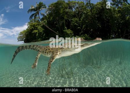 Coccodrillo di acqua salata (Crocodylus porosus) nuoto alla superficie dell'acqua, split-livello, Nuova Guinea, Indo-pacifico