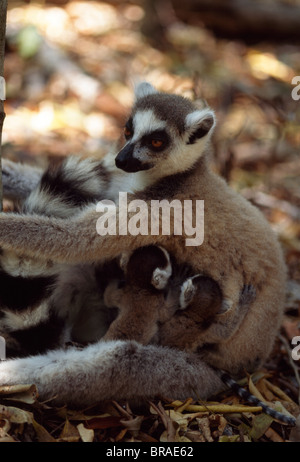 Anello-tailed lemuri (Lemur catta) madre con letti bebè, Berenty, Madagascar meridionale, Africa Foto Stock