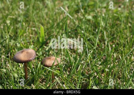Di funghi selvatici crescente tra l'erba. Foto Stock