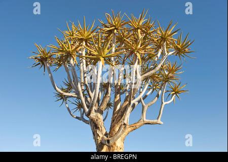 Faretra tree (aloe dichotoma) in quiver tree forest presso il camp garas vicino a Keetmanshoop, Namibia, Africa Foto Stock