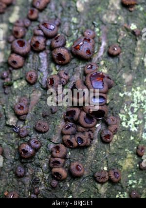 Nero Bulgar, gomma a fungo, Jelly gocce o pulsanti in gomma, Bulgaria inquinans, Bulgariaceae Foto Stock