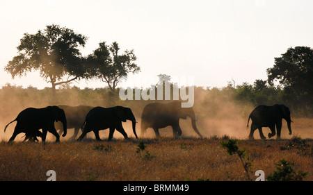 Una silhouette di un branco di elefanti africani con una camminata di vitello in dry veld Foto Stock