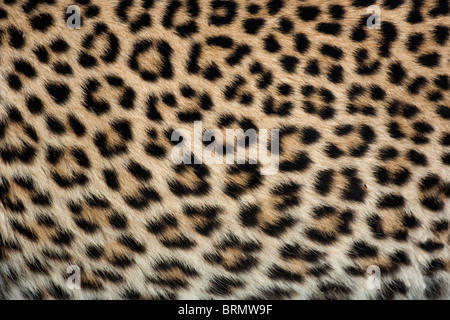 Close-up di pelle di leopardo Foto Stock