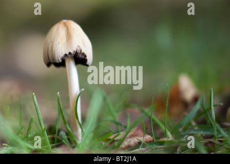 Agaricus xanthodermus, comunemente noto come il giallo-fungo di colorazione Foto Stock