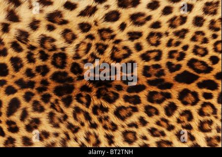 Vera pelle di leopardo. Foto Stock