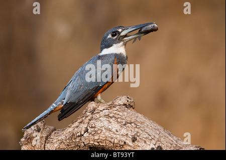 Di inanellare Kingfisher con pesce Foto Stock