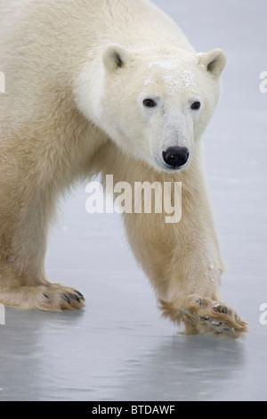 Ritratto di un adulto di Orso Polare (Ursus maritimus) attraversando a piedi il lago di ghiaccio di Churchill, Manitoba, Foto Stock