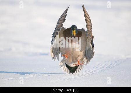 Mallard drake con ali terre esteso nella neve vicino al fiume Chena, Fairbanks, Interior Alaska, inverno, Altered Foto Stock