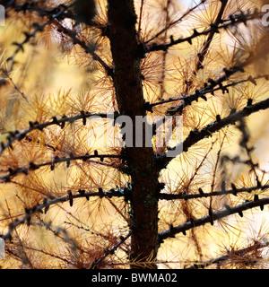 Europea di larice in autunno - fine art Jane-Ann fotografia fotografia Butler JABP929 Foto Stock