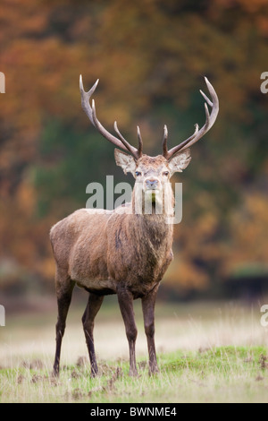 Red Deer; Cervus elaphus; feste di addio al celibato; autunno Foto Stock