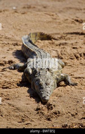 Ritratto di un coccodrillo del Nilo (Crocodylus niloticus) in corrispondenza di un fiume. La foto è stata scattata nel Parco Nazionale di Kruger, Sud Africa.