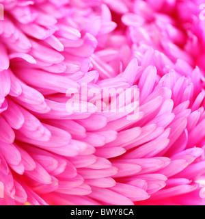 Splendidamente rosa luminoso aster petali Jane-Ann Butler JABP Fotografia870 Foto Stock