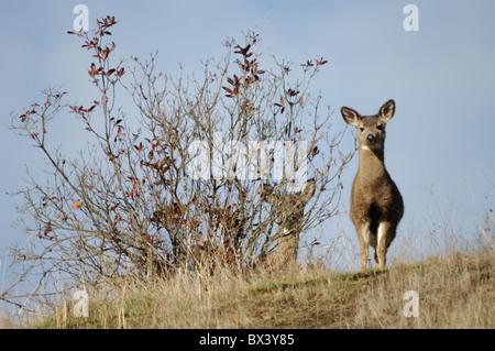 Mule Deer (Odocoileus hemionus) Foto Stock