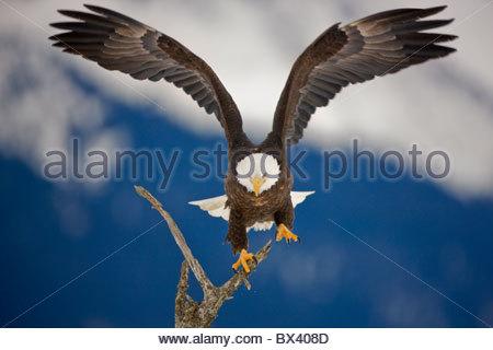 Aquila calva in Chugach National Forest, vicino a Seward, Alaska. Foto Stock