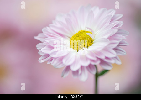 Un unico inglese Daisy Flower - Bellis perennis