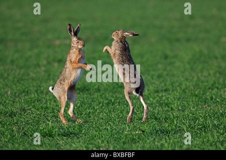 Unione Brown lepre (Lepus europaeus) boxing / combattimenti in campo durante la stagione della riproduzione, Germania Foto Stock