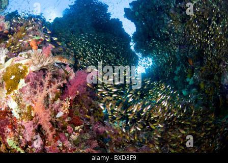 Scuola di pesce di vetro, Ras Zatar, Ras Mohammed, Sinai, Egitto, Mar Rosso Foto Stock