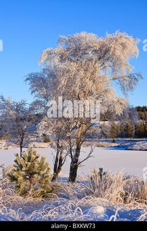 Argento di betulle in inverno Foto Stock