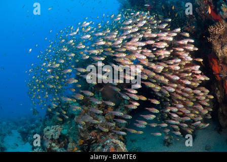 Mar Rosso leone a caccia di pesci di vetro, Nuweiba, Sinai, Egitto, Mar Rosso, Oceano Indiano