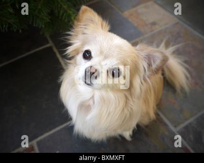 Un piccolo avviso chihuahua maschio cani guarda fino alla telecamera con le orecchie drizzare Foto Stock