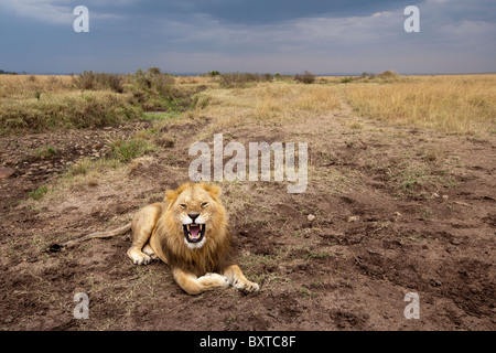 Africa, Kenia Masai Mara Game Reserve, maschio adulto lion (Panthera leo) bares denti mentre sbadigli sulla savana Foto Stock