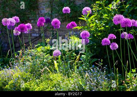 Viola alliums al confine di una cinta muraria del paese inglese giardino estivo Foto Stock