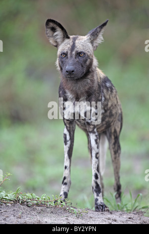African Hunting Dog, Lycaon pictus, ritratto vicino alla Laguna Camp, Okavango Foto Stock