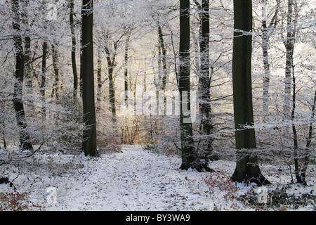 Winter Wonderland frost frosty legno bosco albero magico snow Chilterns Buckinghamshire boschi di faggio Foto Stock