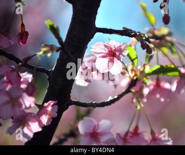 Close-up di fiori di ciliegio, nella prefettura di Kanagawa, Honshu, Giappone Foto Stock