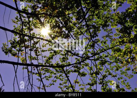 Nocciolo in sole autunnale contro la luce Foto Stock