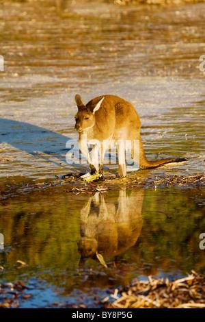 Canguro rosso alimentazione sulla spiaggia a Lucky Bay, Capo La Grand, Australia occidentale Foto Stock