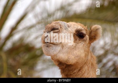 Cammello Dromedario o cammello arabo (Camelus dromedarius), ritratto, Dahab, Egitto, Africa Foto Stock