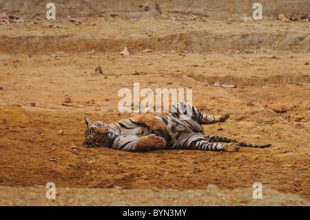 2,5-anno-vecchio maschio di tigre del Bengala rilassante per il letto asciutto di un uomo fatto waterhole in Bandhavgarh Foto Stock