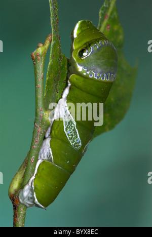 Lime a coda di rondine Caterpillar Butterfly Papilio demoleus Asia Foto Stock