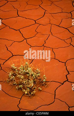 Pianta piccola a malapena a sopravvivere in essiccato incrinato di fanghi rossi in Utah Capitol Reef National Park