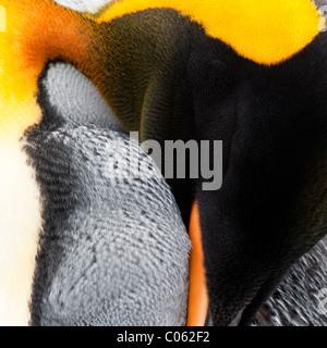 Pinguino reale preening, Salisbury Plain, Georgia del Sud Atlantico.