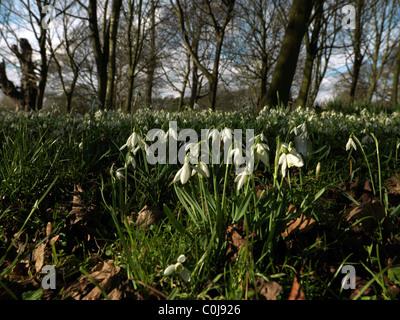 Cheam Surrey in Inghilterra Mansion House Nonsuch Park un campo di bucaneve Foto Stock