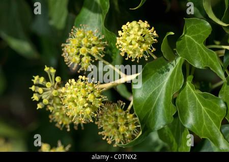 Comune di Edera, inglese (Edera Hedera helix), fioritura ramoscello. Foto Stock