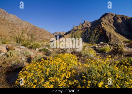 Brittlebush (Encelia farinosa) e ocotillo (Fouquieria splendens) piante in Anza Borrego Desert State Park, California. Foto Stock