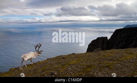 Renne bianco di pascolare su scogliere ripide nella tundra norvegese Foto Stock