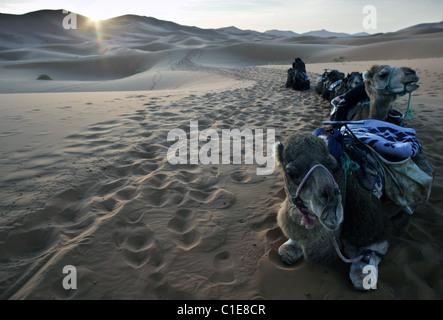 Camel viaggio di campeggio a sunrise nel deserto del Sahara presso Erg Chebbi in Marocco, Africa del Nord. Foto Stock